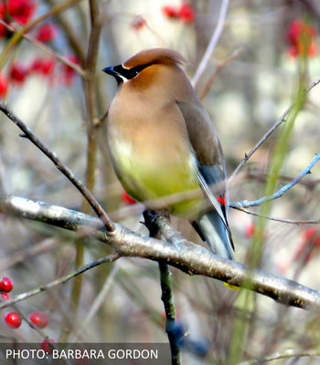 Cedar Waxwing by Barbara Gordon