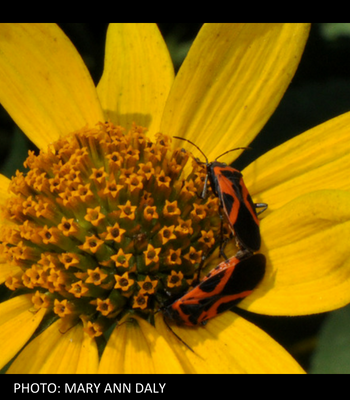 False Sunflower and Milkweed Bugs by Mary Ann Daly