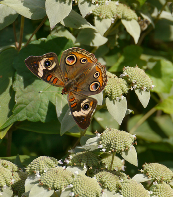 Meadow Buckeye