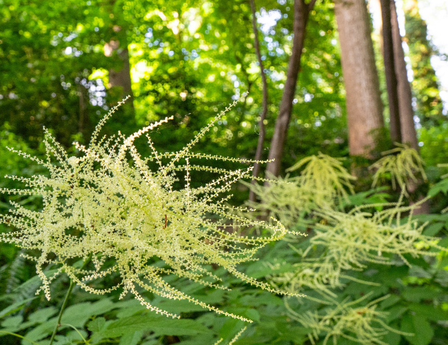 Goatsbeard is among the native plants included in Barbara Schubert's wonderful garden sanctuary.